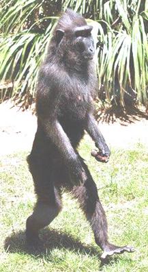 Monkey Walking on Two ...